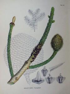 Lámina de 1870 en Flora Japonica, by Philipp Franz von Siebold and Joseph Gerhard Zuccarini.