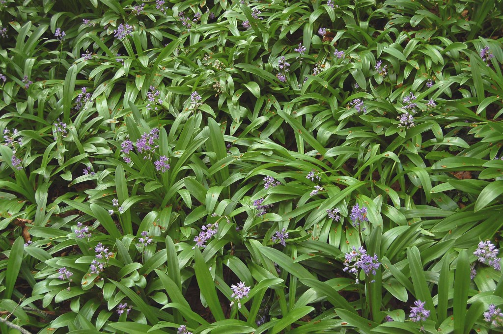 Tapiz de Scilla lilio-hyacinthus en un hayedo de Irati.