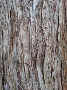 Calocedro tronco