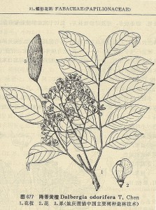 Esquema de hojas, flores y fruto de Dalbergia odorifera
