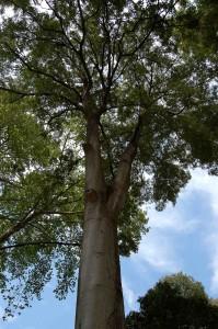 Almez del Parque María Luisa.