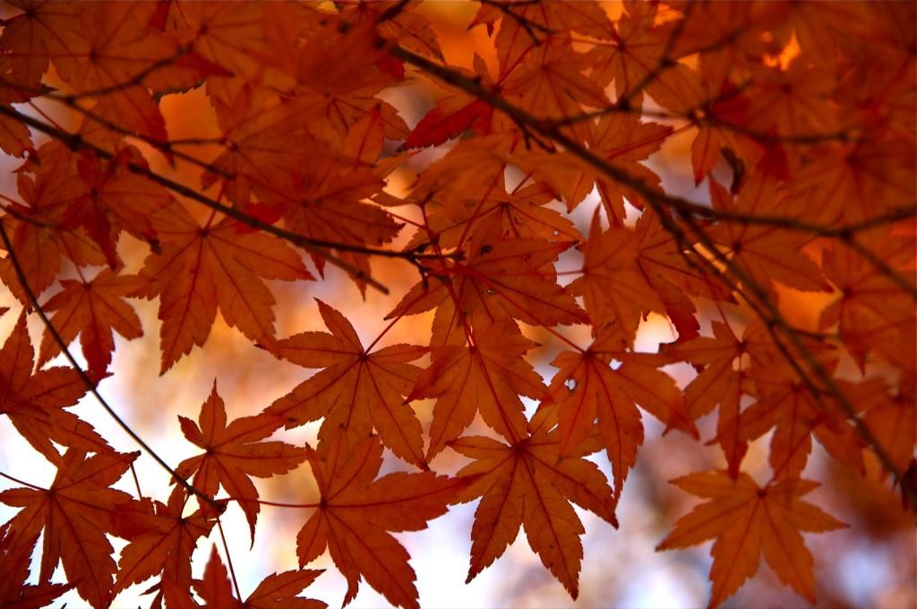 """Hojas de arce en otoño"" por KK07."