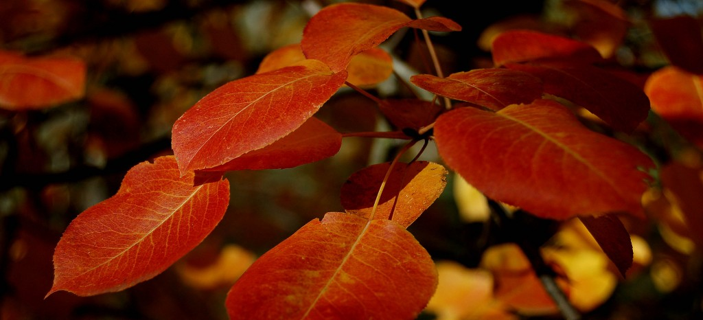 Pyrus leaves
