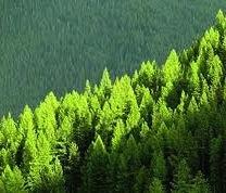 Pinus de Monterrey