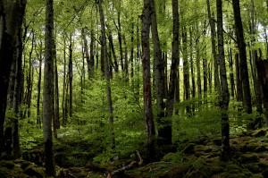Irati_forest
