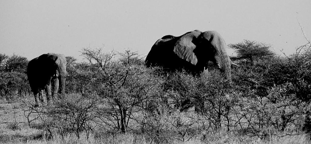 Elefantes y acacias en Etosha, Namibia, septiembre 2000.