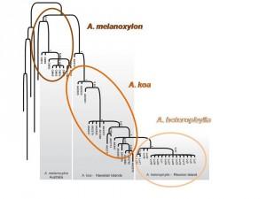 Árbol genealógico de las tres especies de acacias (adaptado de Le Roux y cols. 2014)