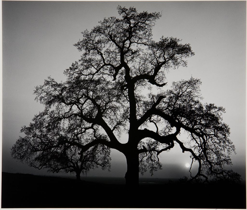 """Oak tree, Sunset City"" por Ansel Adams (1962)."