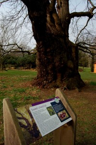 Kew_oldest_chestnut