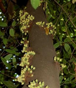 Ficus_obscura