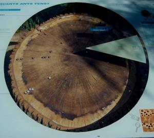 Quercus_anillos