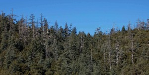Mortalidad de cedros (Cedrus atlantica) en el Parque Nacional Ifrane, Marruecos.