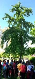 10_Ginkgo_árbol