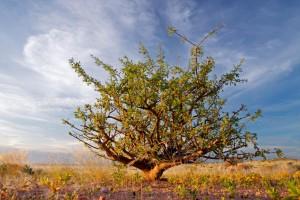 Árbol de la Mirra