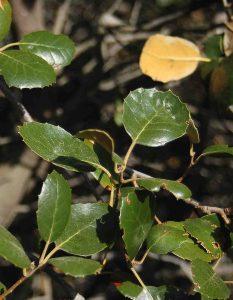 Q-alnifolia