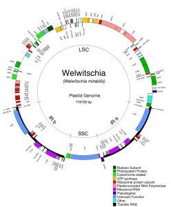 Mapa del genoma de cloroplasto de Tumbo (McCoy et al. 2008).