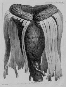 Tronco del árbol Tumbo. Lámina en Hooker (1863).