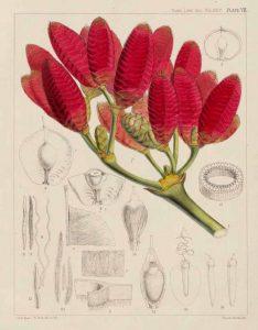 Frutos femeninos. Lámina en Hooker (1863).